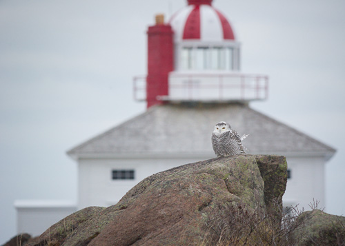 Snowy Owl at the old lighthouse - Cape Spear