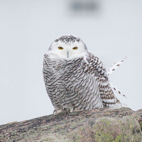 Snowy Owl Portrait - Cape Spear