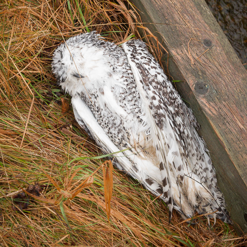 Rest in peace, Snowy Owl - Cape Spear