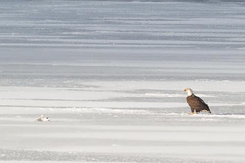 Bald Eagle on Quidi Vidi Lake - St. John's