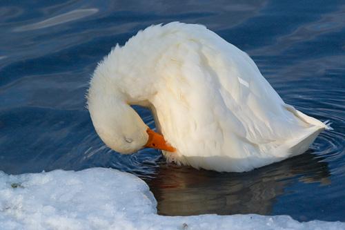 Preening duck - St. John's