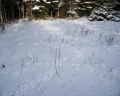 Snowshoe Hare tracks - Stiles Cove Path