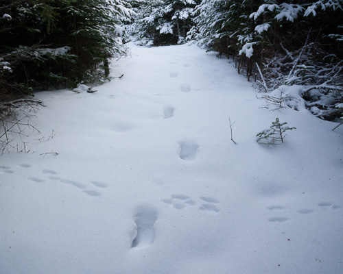 Hare and Moose tracks - Stiles Cove Path
