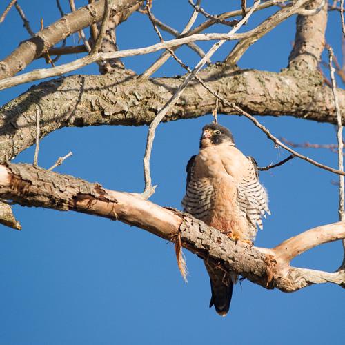 Peregrine Falcon - Quidi Vidi Lake