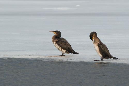 Just a couple of plain old Cormorants - Quidi Vidi Lake