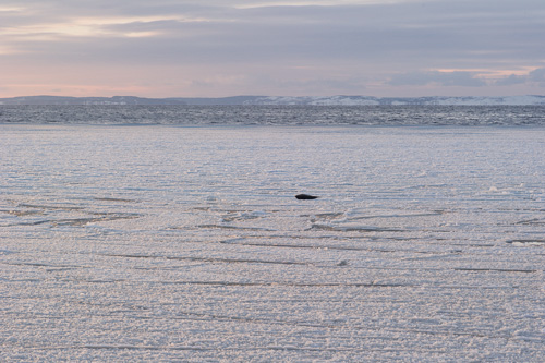 Harbour Seal out on the ice - Bauline
