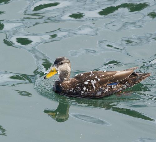 Freezing duck - Quidi Vidi