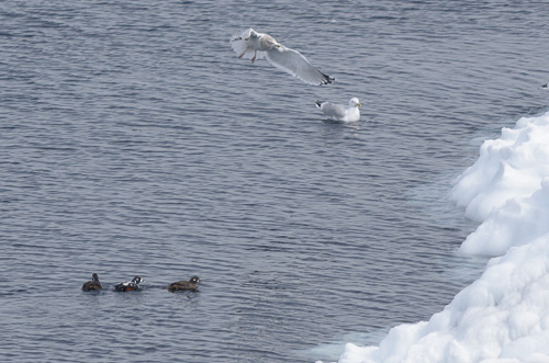 Harlequin Ducks - Pouch Cove
