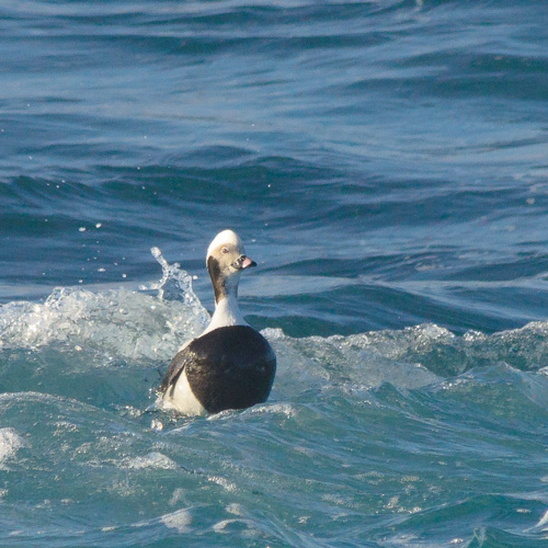 Long-tailed Duck - Cape Spear