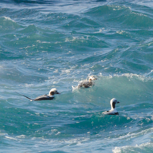 Long-tailed Ducks – Cape Spear