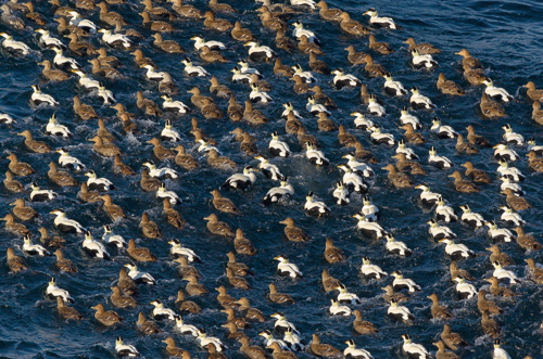 Common Eiders - Blackhead
