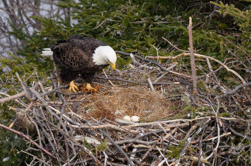 An eagle counting eggs - Cuckolds Cove Trail