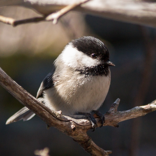 Black-capped Chickadee - Motion Path