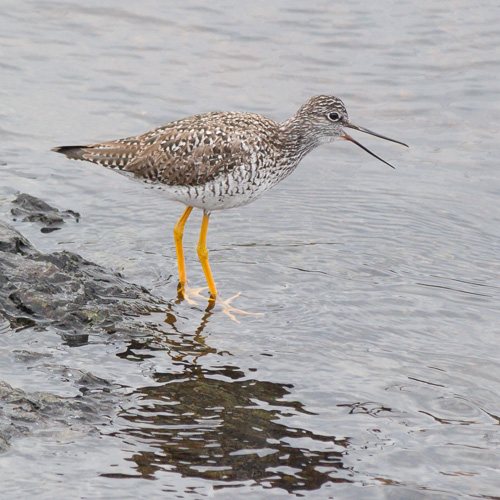 Yellowlegs - Witless Bay