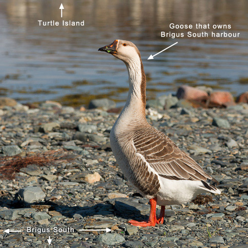 #9: The Goose of Brigus South