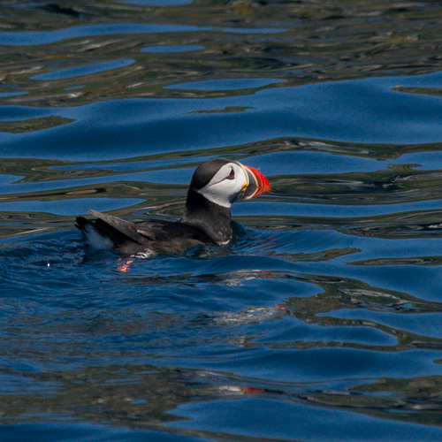 Puffin - Witless Bay Ecological Reserve