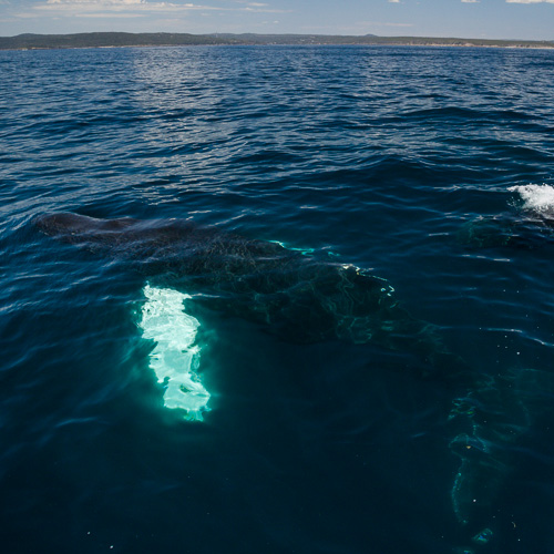 A Humpback whale surfaces - Witless Bay Ecological Reserve