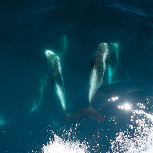Bowriding dolphins - Witless Bay Ecological Reserve