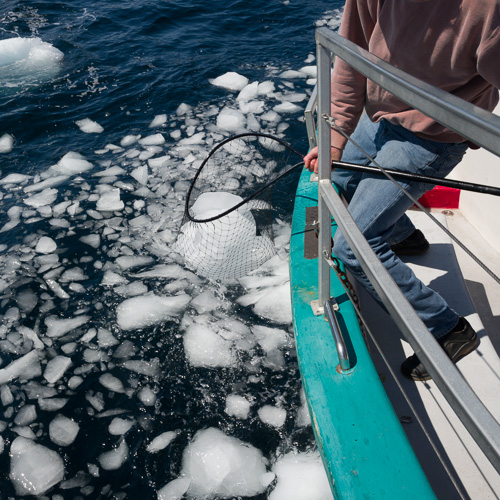 Collecting pieces of iceberg - Brigus South