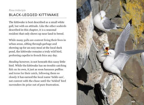 Black-legged-Kittiwake