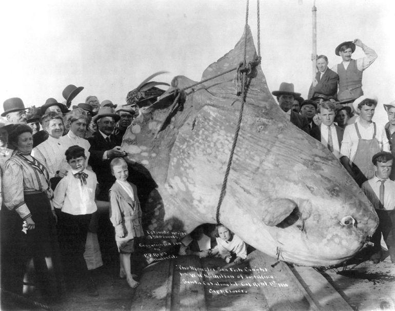 Large sunfish, long ago - Wikimedia Commons