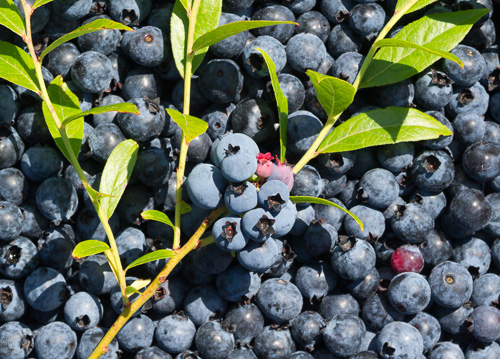 Blueberry picking - Trixs Cove, Bear Cove Point Path