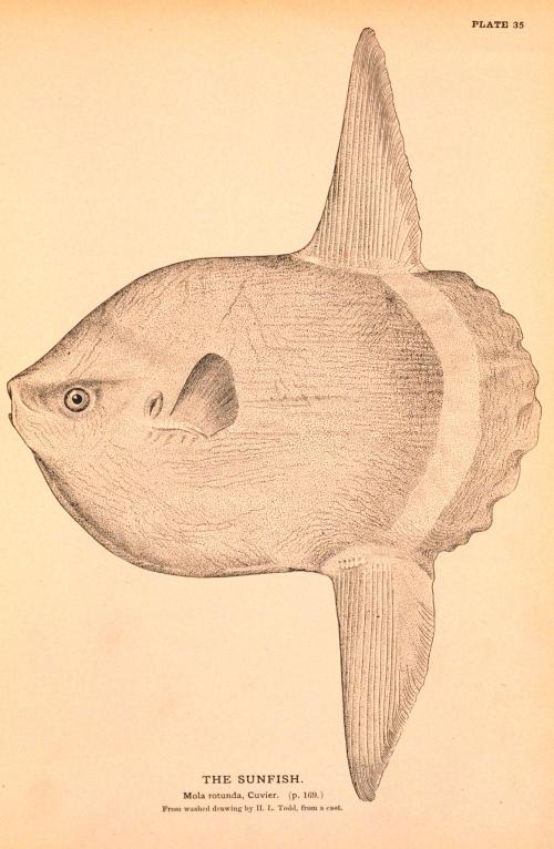 Ocean sunfish - Wikimedia Commons