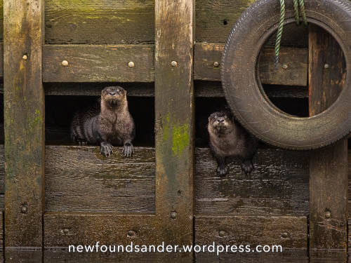 Two playful otters - Petty Harbour