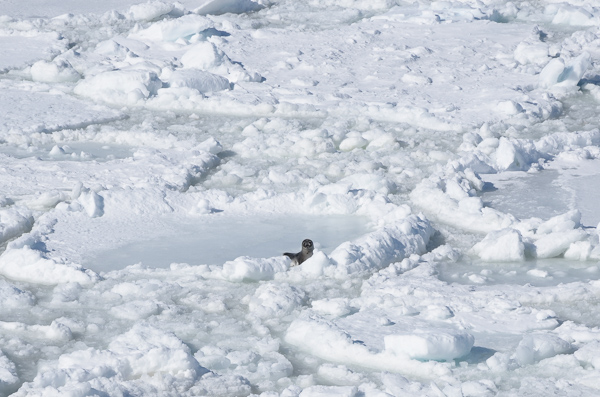 Seal on the ice - Twillingate