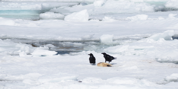 Ravens eating a seal pup - Toogood Arm