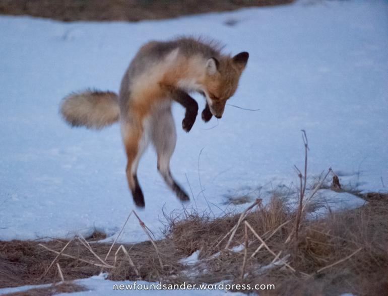 Pouncing fox - Joe Batt's Arm, Fogo island