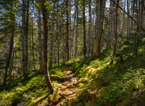 Forest trail - Cape Broyle Head Path