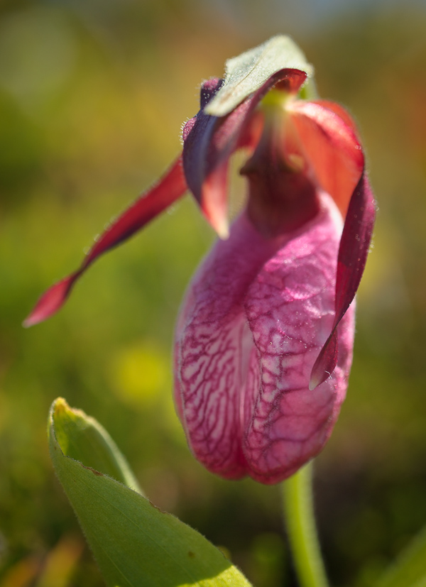 Pink lady's slipper - Father Troy's Trail