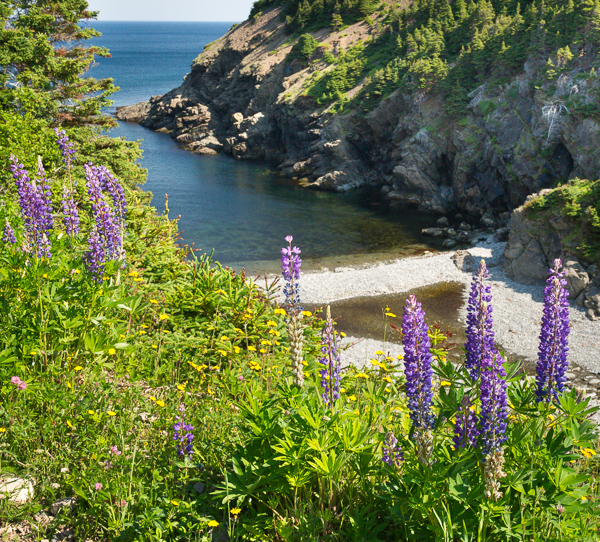 Shoe Cove lupins - Stiles Cove Path