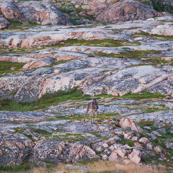 Caribou barrens - Fogo Island