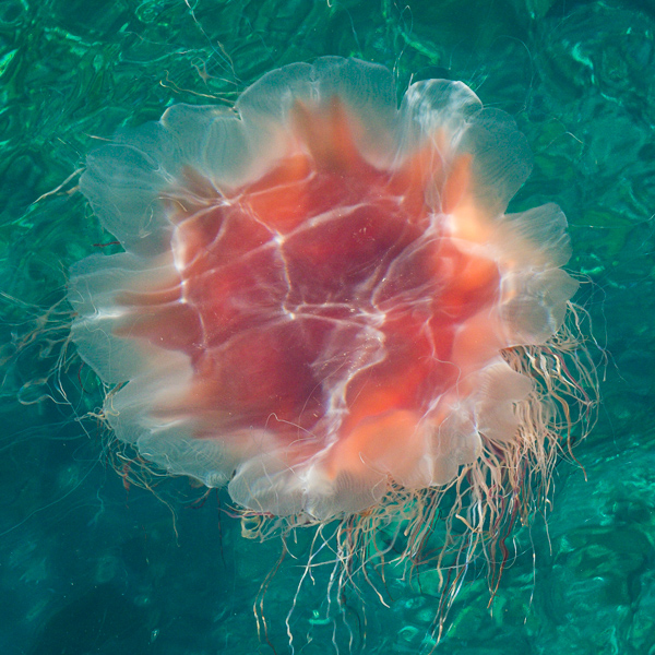 Lion's mane jellyfish - Father Troy's Trail