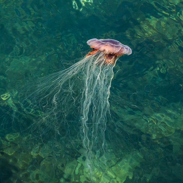 Lion's mane jellyfish - Deep Cove, Flamber Head Path