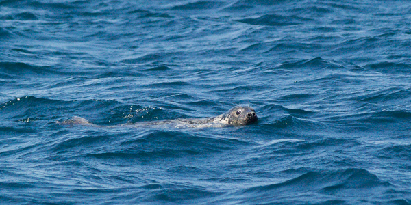 Grey seal - Witless Bay Ecological Reserve