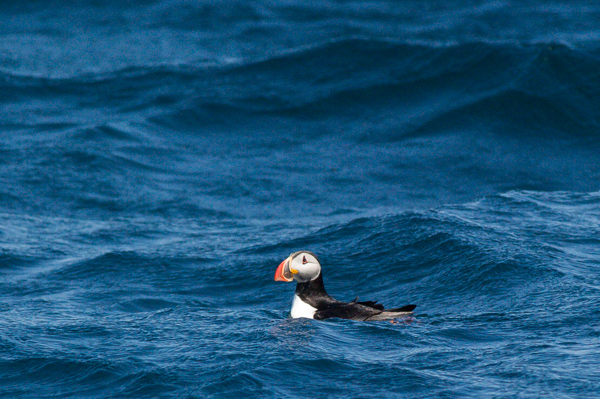 A handsome Atlantic puffin - Witless Bay Ecological Reserve
