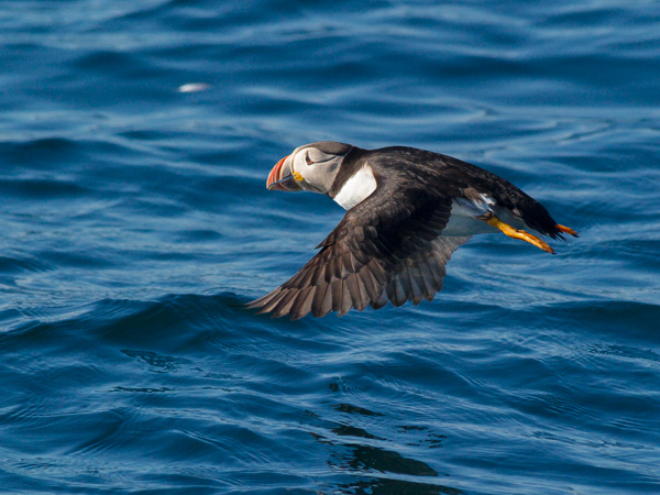 Atlantic puffin - Witless Bay Ecological Reserve