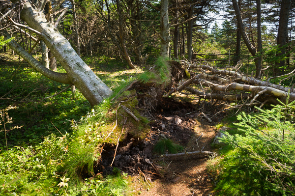 Storm damage - Cape Spear Path