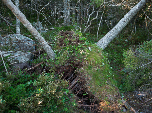 More storm damage - Cape Spear Path
