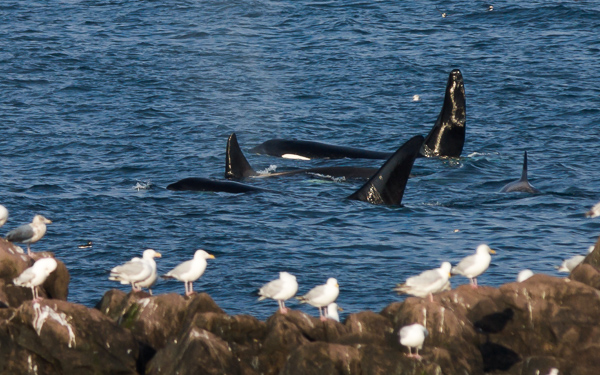Killer whales - seen in Logy Bay